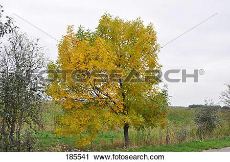 Stock Photography of Common Ash, European Ash (Fraxinus excelsior.