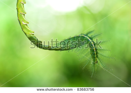 Caterpillar Of The Common Baron Butterfly Stock Photo 83683756.