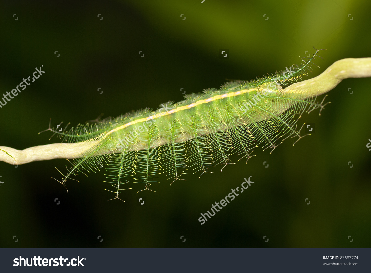 Caterpillar Of The Common Baron Butterfly Stock Photo 83683774.