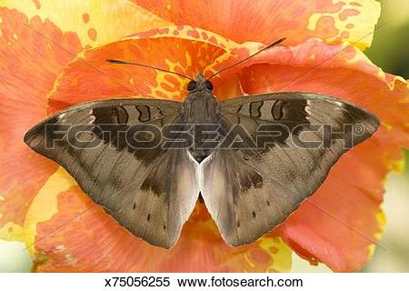 Stock Image of Common Baron butterfly, Euthalia aconthea, perched.