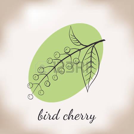 Bird Cherry Stock Vector Illustration And Royalty Free Bird Cherry.