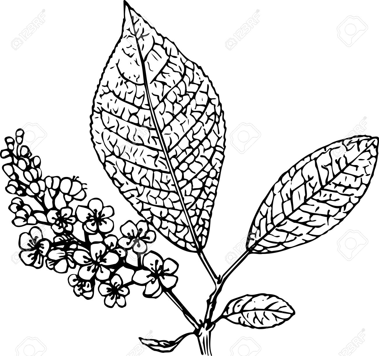 Padus (bird Cherry) Royalty Free Cliparts, Vectors, And Stock.