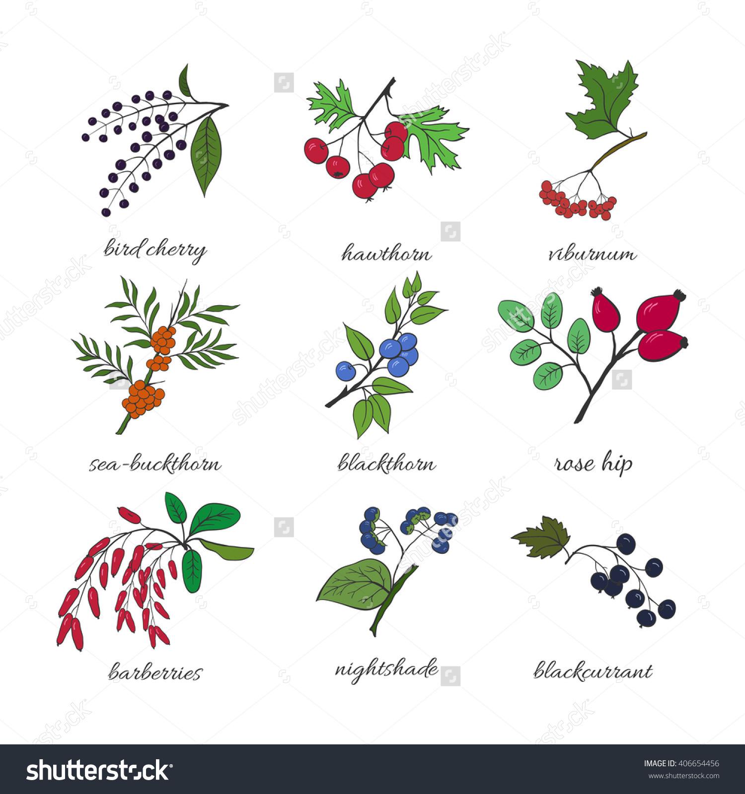 Medicinal Berry Collection. Bird Cherry, Blackthorn, Viburnum, Sea.