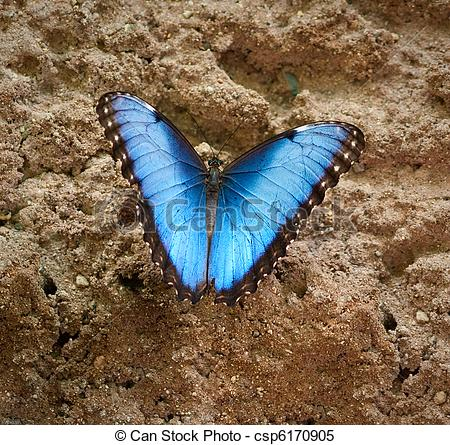 Stock Images of Common Blue Morpho Butterfly.