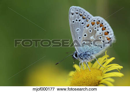 Picture of Germany, Common blue butterfly, Polyommatus icarus.