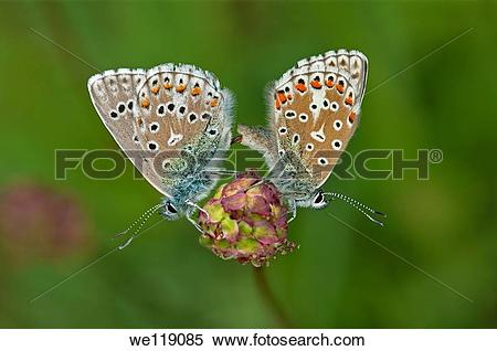 Stock Image of Mating of Common Blue butterflies Polymattus icarus.