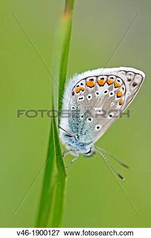 Picture of Common Blue, polyommatus icarus settled on grass.