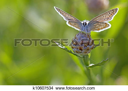 Stock Photo of Common blue butterfly k10607534.