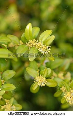 Stock Photo of Common boxwood (Buxus sempervirens). x8p.