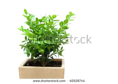 Buxus Sempervirens (Also Known As Common Box Or Boxwood) Plant In.