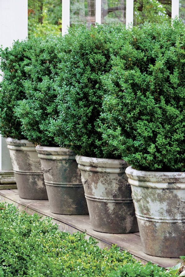 1000+ ideas about Boxwood Bush on Pinterest.