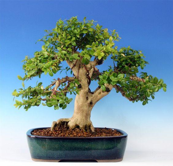 Common Boxwood Tree.