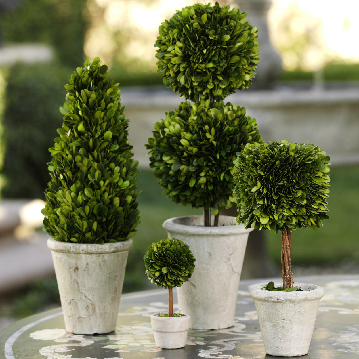 20 Common Boxwood (Buxus Sempervirens) Shrub Tree Seeds,Exotic.