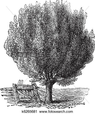 Clipart of Boxwood or Buxus, tree, vintage engraving. k6265681.