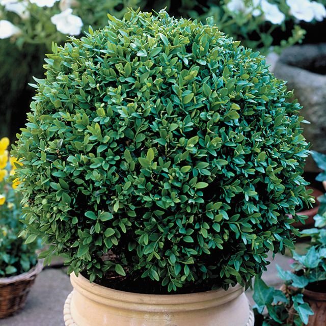1000+ ideas about Green Velvet Boxwood on Pinterest.