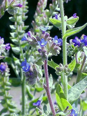 1000+ ideas about Anchusa Officinalis on Pinterest.