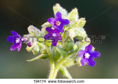 Stock Photo of Common Bugloss (Anchusa officinalis), flowers.