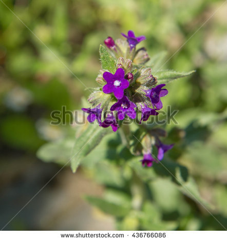 Common Bugloss Stock Photos, Royalty.