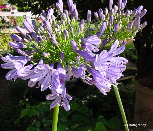 Blue Flowers With Long Stems.