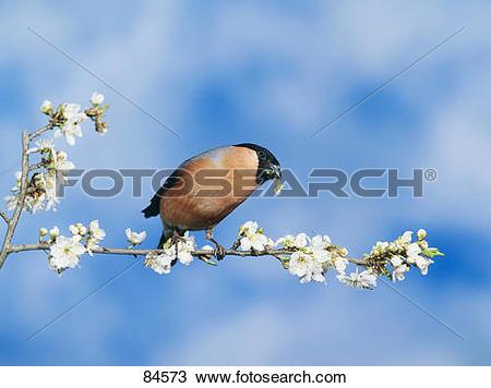 Stock Photo of Common Bullfinch on twig / Pyrrhula pyrrhula 84573.