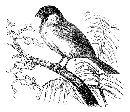 Common Bullfinch Pictures Clip Art, Vector Images & Illustrations.
