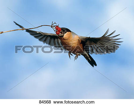 Pictures of Eurasian Bullfinch at berries.