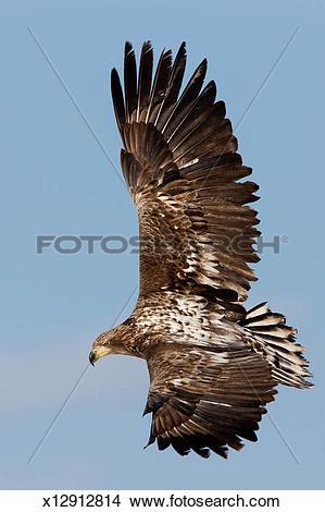 Stock Photo of Common buzzard in flight, Hokkaido, Japan x12912814.