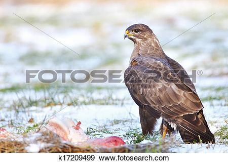 Stock Photograph of Common buzzard k17209499.