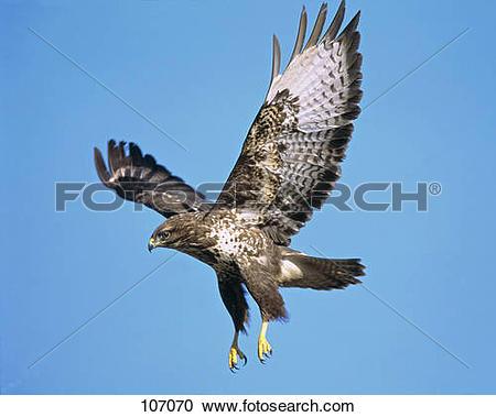 Stock Photography of Common buzzard.