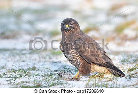 Common buzzard clipart.
