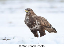 Stock Photography of Common buzzard sitting on the winter ground.