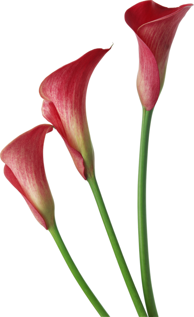 Transparent Calla Lily Flower Clipart. View full size ?.