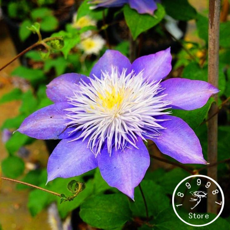 1000+ ideas about Clematis Flower on Pinterest.