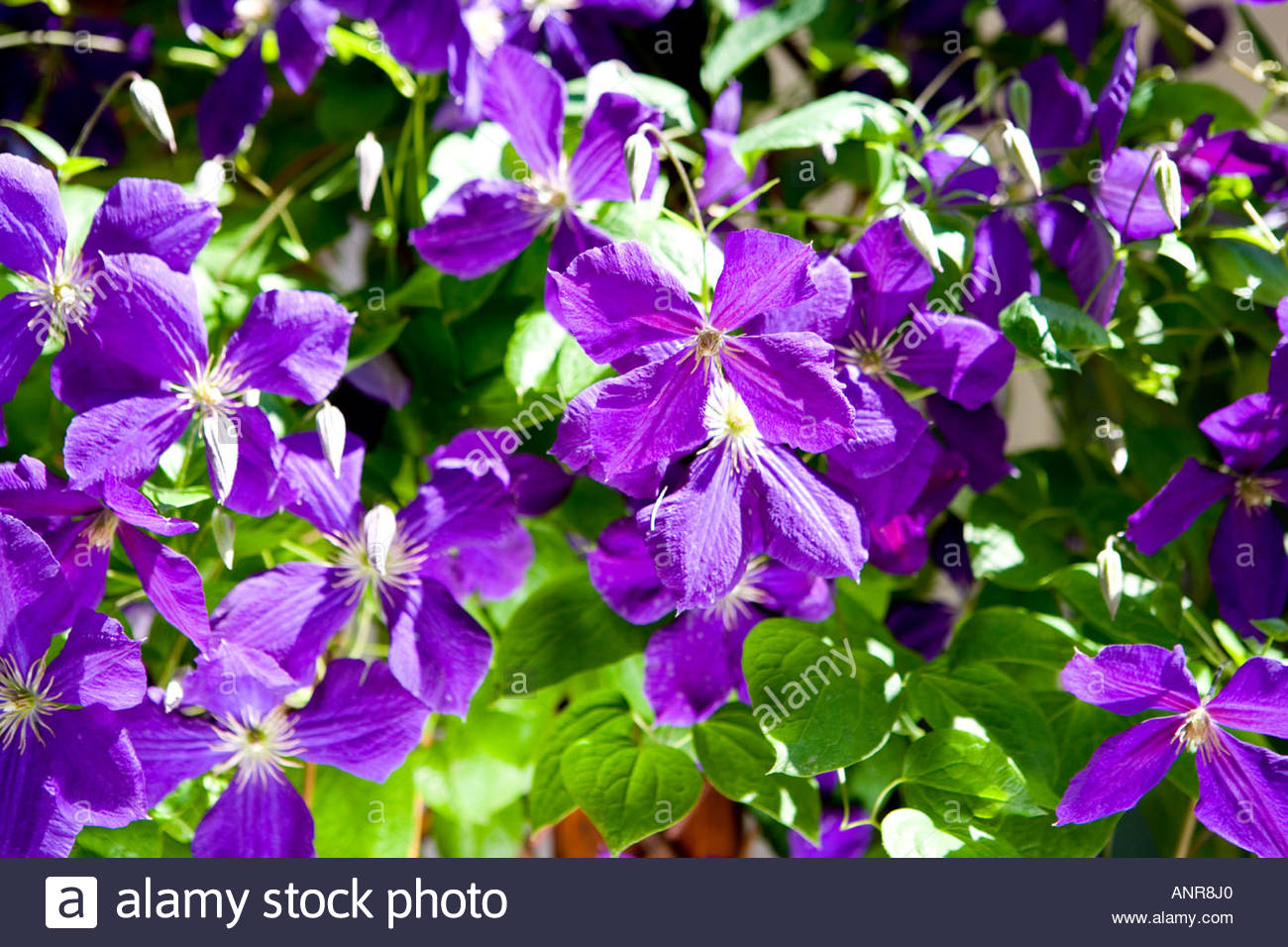 Common Clematis Stock Photos & Common Clematis Stock Images.