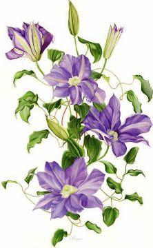 ANN SWAN contemporary botanical art, coloured pencil artist.