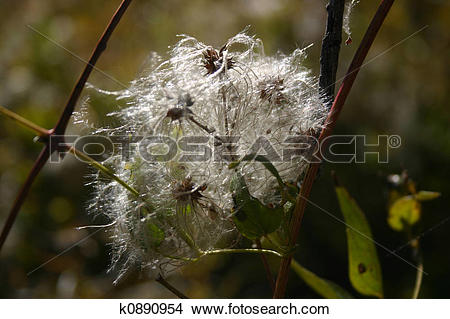 Stock Photo of White Clematis (Clematis ligusticifolia) k0890954.