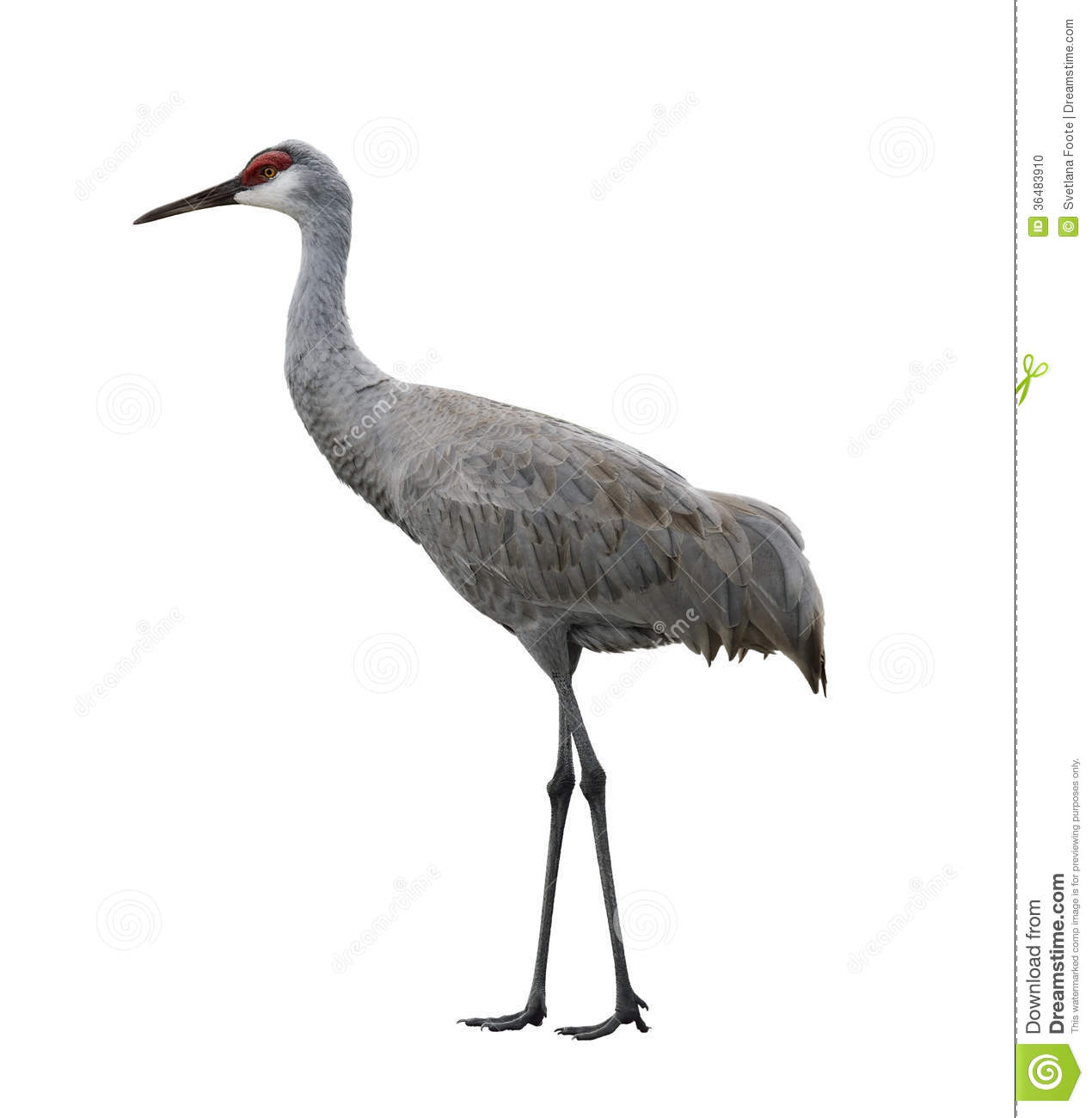 Crane Bird Stock Photos, Images, & Pictures.