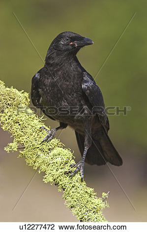 Stock Photo of Common Crow resting on moss covered branch, British.