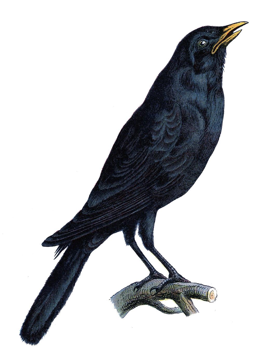 Halloween Crow Clipart.