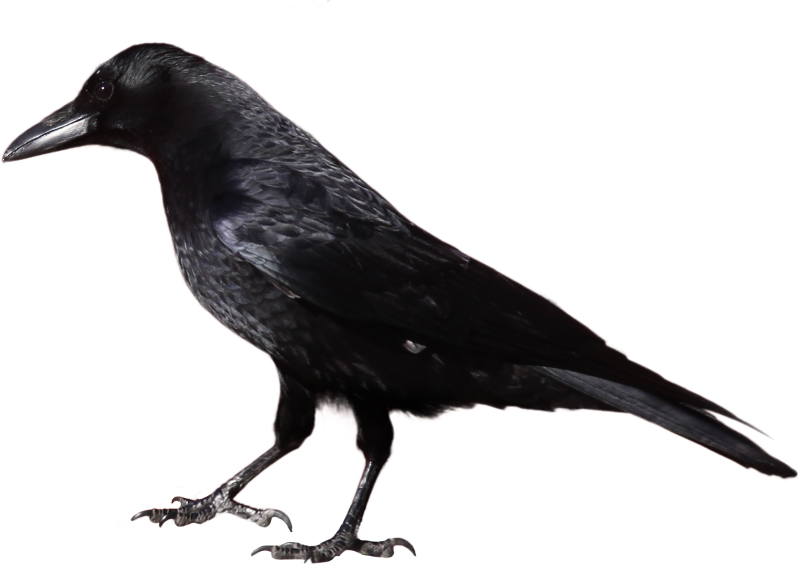 Halloween Crow Clipart.