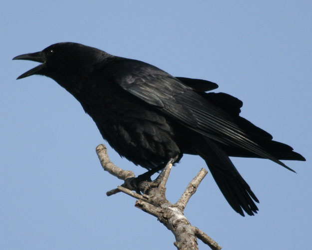 American Crow Photos.