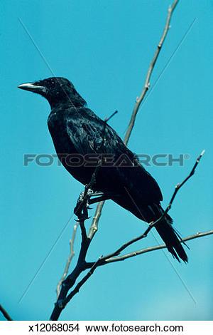 Stock Photo of Common crow on tree limb, North America x12068054.