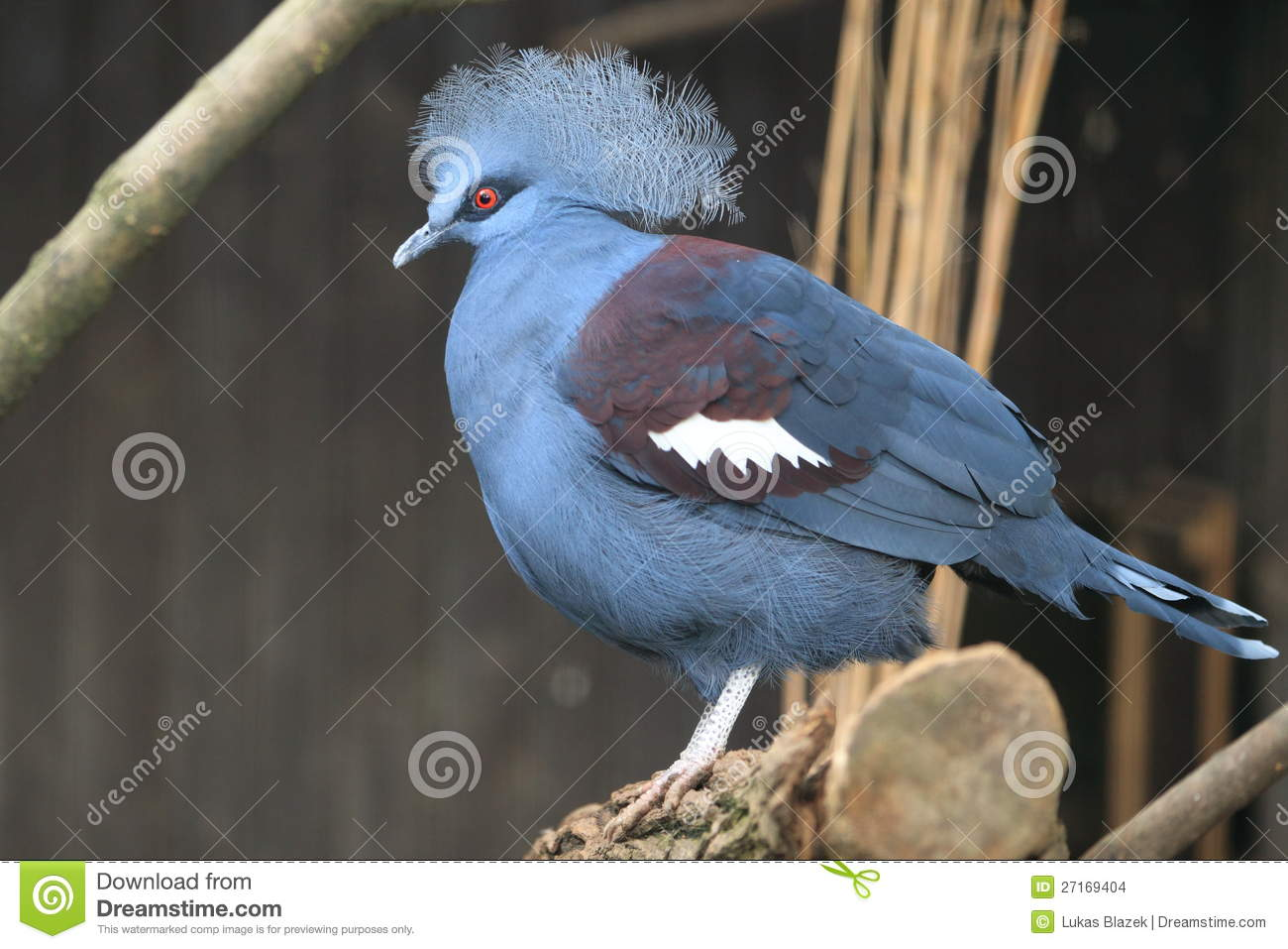 Common Crowned Pigeon Stock Images.