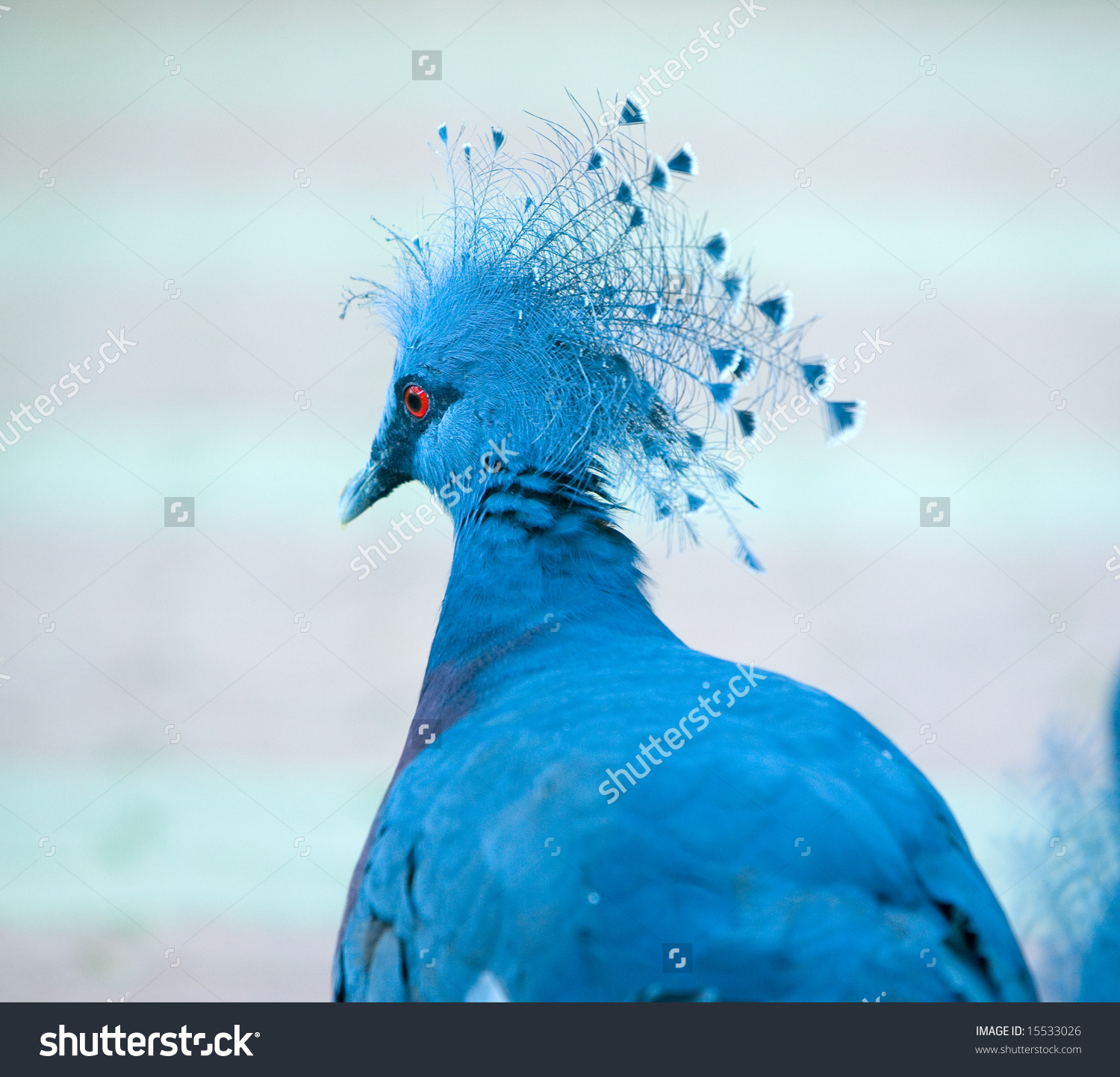The Western Crowned Pigeon, ''Goura Cristata'', With Beautiful.