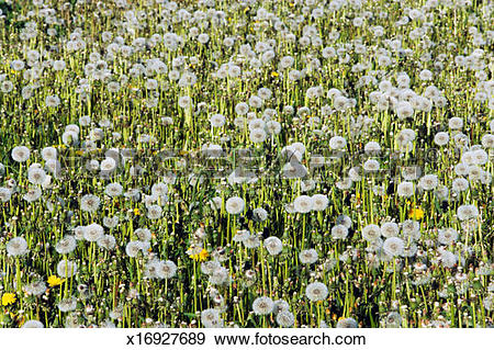 Stock Photograph of Common dandelion seed heads on meadow.