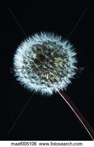 Stock Images of Close up of common dandelion maef005106.