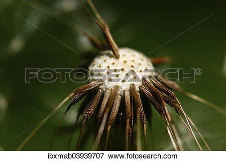 "Picture of ""Common Dandelion (Taraxacum officinale), blowball."