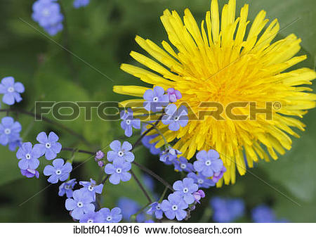 Stock Images of Common dandelion (Taraxacum officinale) and wood.