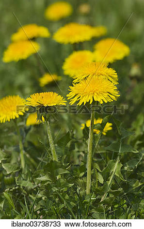 "Stock Photo of ""Common Dandelion (Taraxacum officinale."