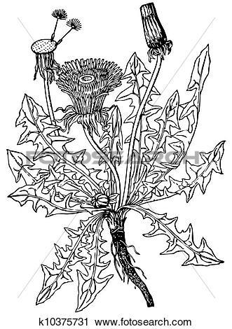 Clipart of Common dandelion k10375731.